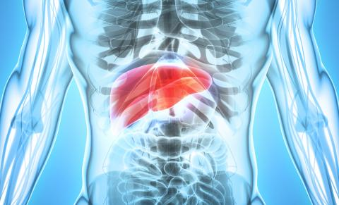 Location of Liver in Human Body